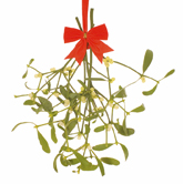 Mistletoe resized 250